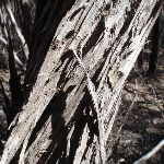 Bark on melaleuca (102586)