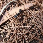 Large ant north of Leather Jacket Bay (103240)