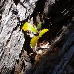 Small banksia in tree hollow (104236)