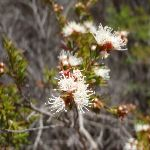 Tickbush (Kunzea ambigua) Flower (104350)