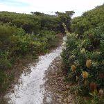 Sandy track past Banksias (107443)