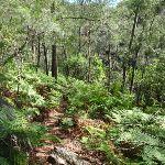 Warrimoo Track through the ferns (117787)