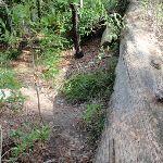 Fallen tree on Governor Phillip walk (126808)
