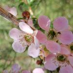 Peach-Flowered Tea Tree blossoms (Leptospermum squarrosum)  February-April (127036)