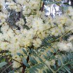 Wattle out in bloom (143661)