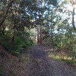 Casuarinas and Eucalypts on the Blackwattle trail (152866)