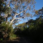 Eucalypt hanging over the Salvation Loop track (155137)
