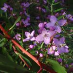 Boronia Pinnata wildflowers in Popran National Park (158941)