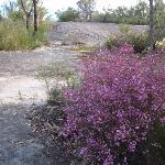 Boronia adds spring colour (159919)