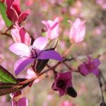 Pink Boronia wildflowers in spring (168533)