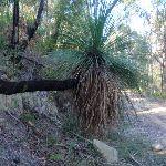 Grass tree holding on tight (170117)