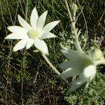 Actinotus helianthi (Flannel Flower) (18777)