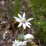 Actinosus sp. (Flannel Flower) (19557)