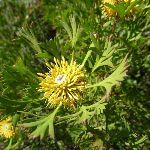 Isopgen Anemonifolius (Broad-leaf Drumstick) (196073)