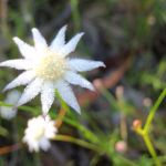 Actinotus minor (Flannel Flower) (216845)