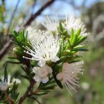 Tick Bush (Kunzea ambigua) in bloom (218018)