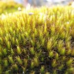 Moss on the side of the Pearl Beach / Patonga fire trail (218495)