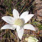 Actinotus helianthi (Flannel Flower) (221453)