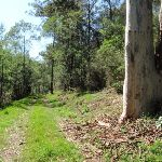 Large gums line much of the Simpson Track (221939)