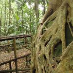 Strangler Fig growing over a boulder (226105)