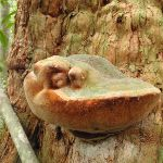 Fungus growing on  a Turpentine Tree (226192)