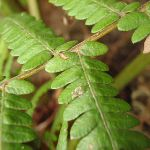 Close up of Ferns Leaf (227710)