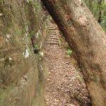 Passing under tree on the Guringai Walk (227722)