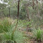 Grass trees in bloom (228970)