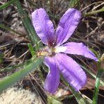 Fan flower (Scaevola ramosissima) (233765)