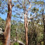 Large gums among the boulders (235541)