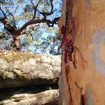 Gum tree and boulders (238067)