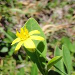Yellow Flower (249223)