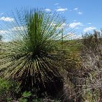 A grass tree on the Grass Tree Track (249631)