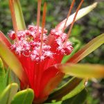 Lambertia formosa (Mountain Devil) on Geebung Track (250075)