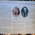 Information on Elephant's Ear (259007)
