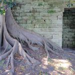 Fig tree beside sandstone wall (261233)