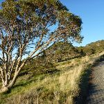 Snow gum on Main Range Track (268814)