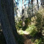 Stringybark Trees (275507)