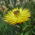 Xerochrysum bracteatum (paper daisy) (278078)