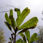 Banksia Leaves (28631)
