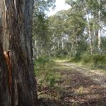 Tall gums line much of Dargals Trail (290153)