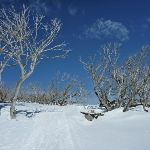 Walking amoung the snow gums (300853)