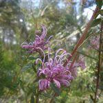 Pink Spider Flwoer (Grevillea sericea) in spring on Elvina Track (304218)