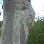 Scribbly Gum on Elvina Track (304257)
