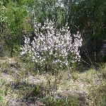 Wild Flowers (Eriostemon australis) (305900)