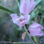 Wildflowers (Pink wax flower - Eriostemon australis) at Lovetts Pools (308069)
