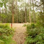 Track near pines camping area in the Watagans (320633)