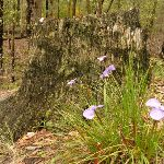 Patersonia Lily Flowers and tree stump in the Watagans (321032)