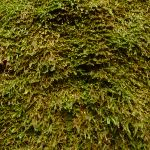 Close up of moss on the moss wall near Boarding House Dam near Watagan Forest Road in the Watagans (322721)