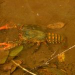Fresh water yabbies in Gap Creek near Gap Creek picnic area (324029)